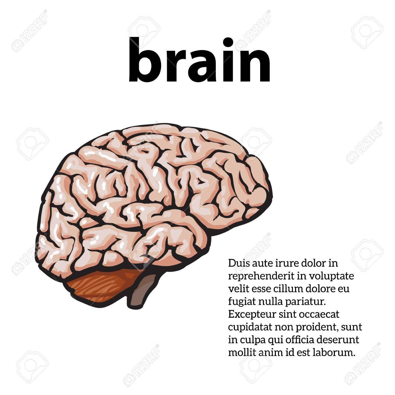 Cerebro Humano, Ilustración Dibujo De Un Cerebro Aislado En Un Fondo ...