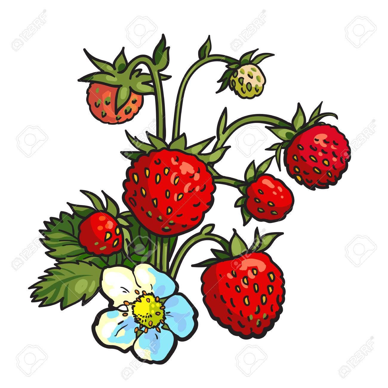 Bouquet De Fraise Sauvage Realiste Vecteur Dessin Illustration