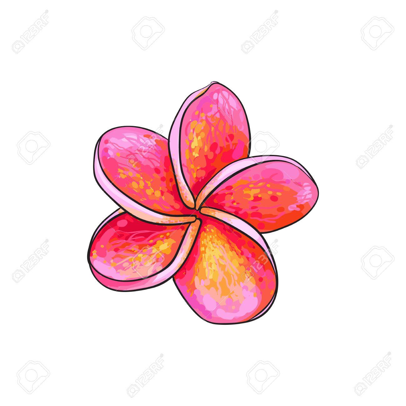 Banque d\u0027images , Plumeria unique rose, fleur tropicale frangipanier,  croquis style vecteur illustration isolé sur fond blanc. dessin à la main  réaliste