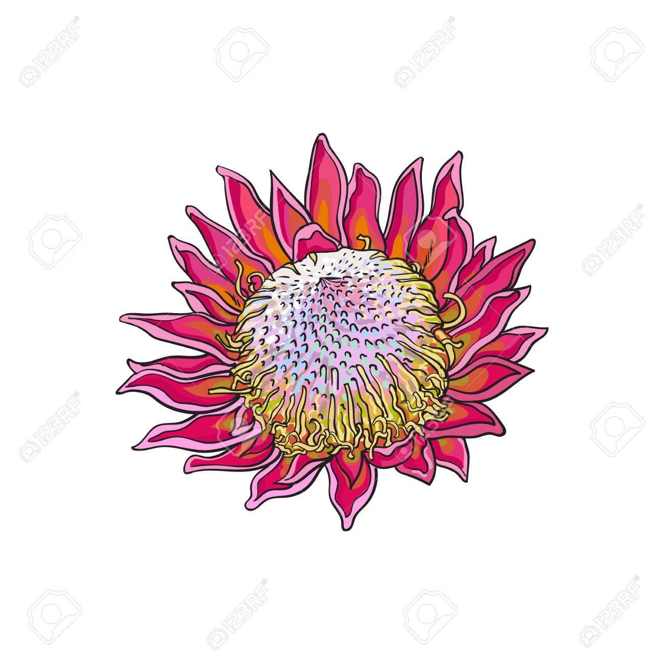 Protea Roi Violet Unique Couleur Illustration De Vecteur De Style