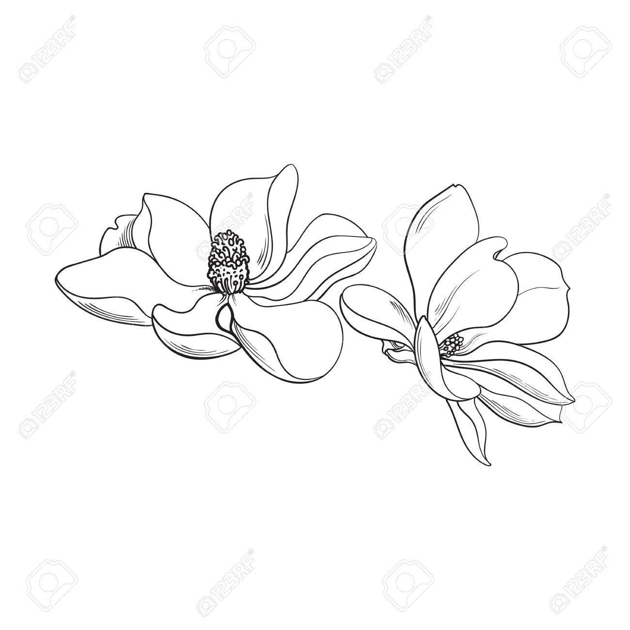 Dos Flores De Magnolia Estilo De Boceto Ilustracion Vectorial