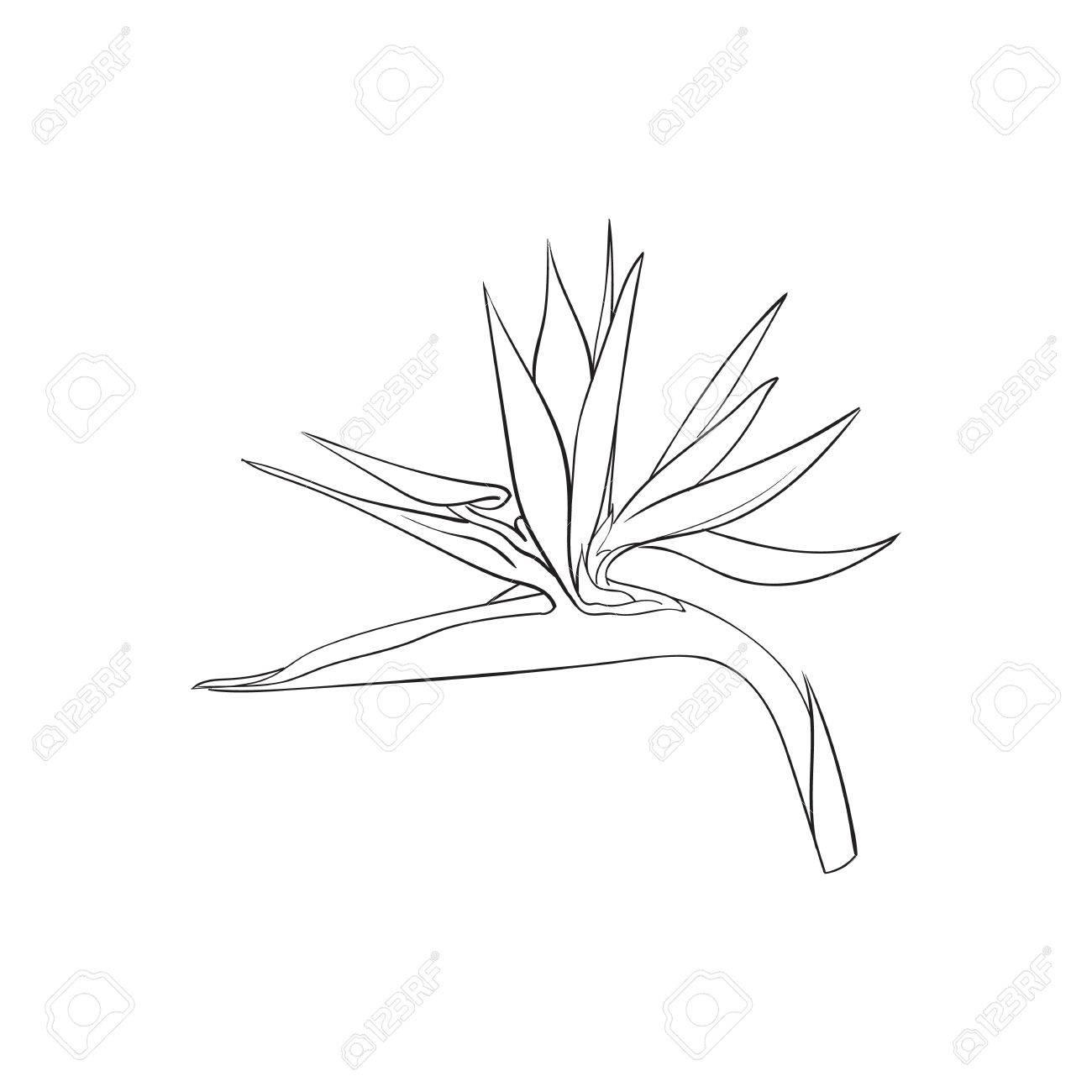 Oiseau unique de paradis, fleur tropicale strelizia, croquis style vecteur  illustration isolé sur fond blanc. dessin de la fleur de strelizia, en ...