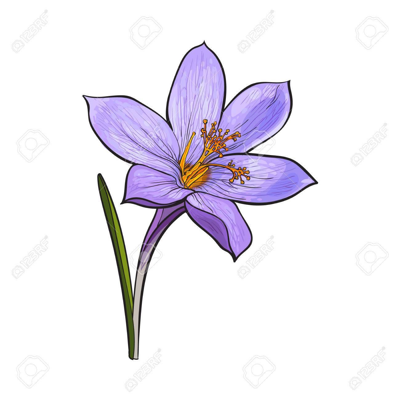 Facile Fleur De Printemps A Base De Crocus Avec Tige Et Feuille Illustration Vectorielle De Style Croquis Isole Sur Fond Blanc Dessin A La Main