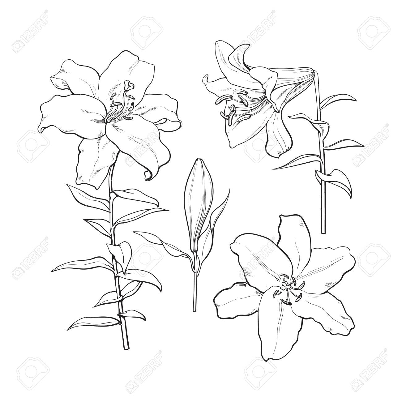 Set Of Hand Drawn White Lily Flowers In Side And Top View Sketch