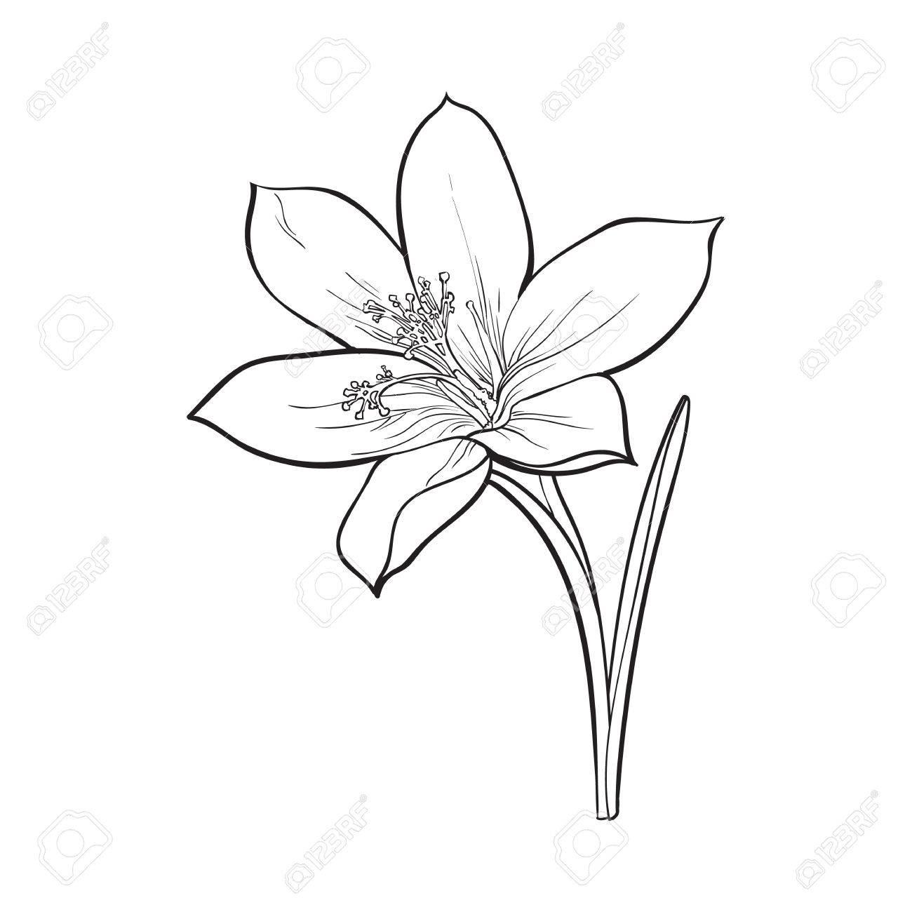 Delicate Single Crocus Spring Flower With Stem And Leaf Sketch
