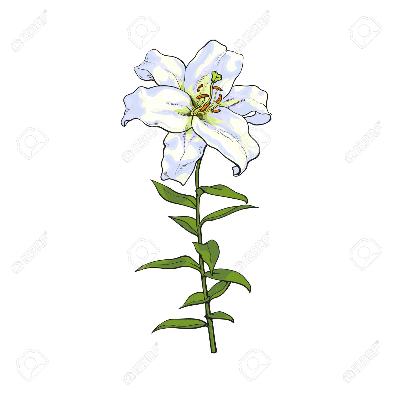 Single Hand Drawn White Lily Flower With Stem And Leaves, Front ...