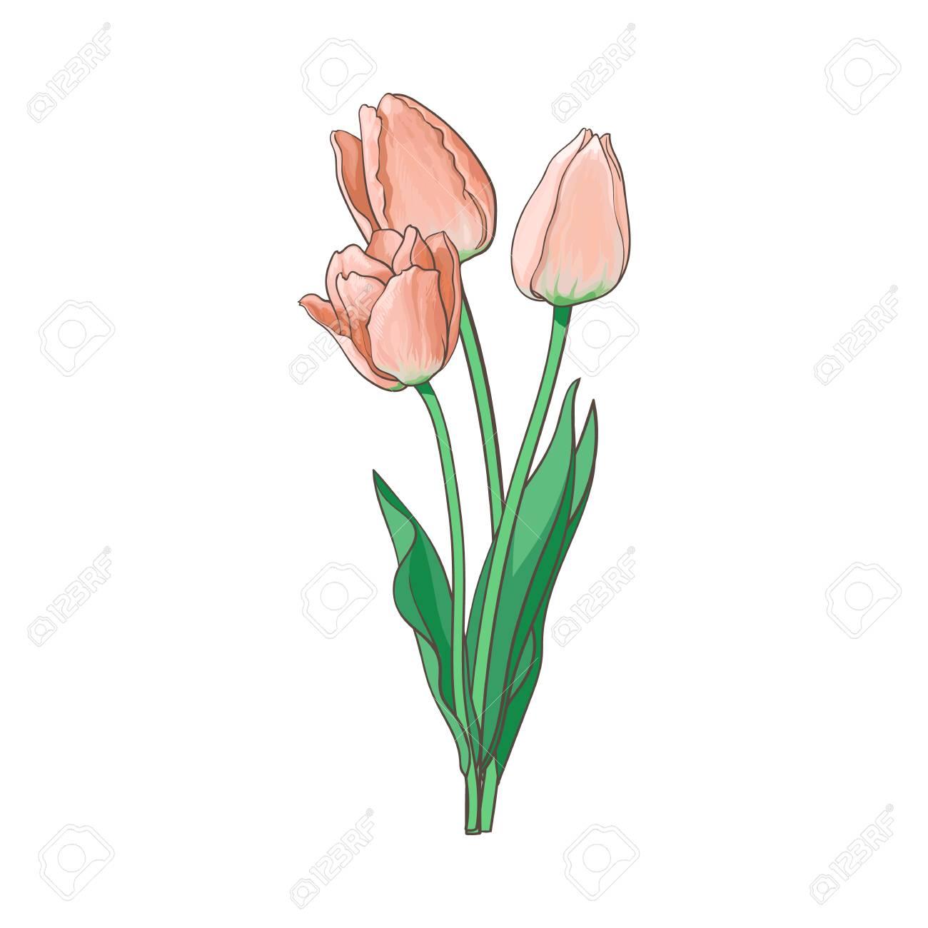 Illustration De Tulipe De Vecteur Isolé Sur Fond Blanc Bouquet De Fleurs Avec Fleur épanouie Tige Et Feuilles Réaliste Vue De Côté Dessiné à La