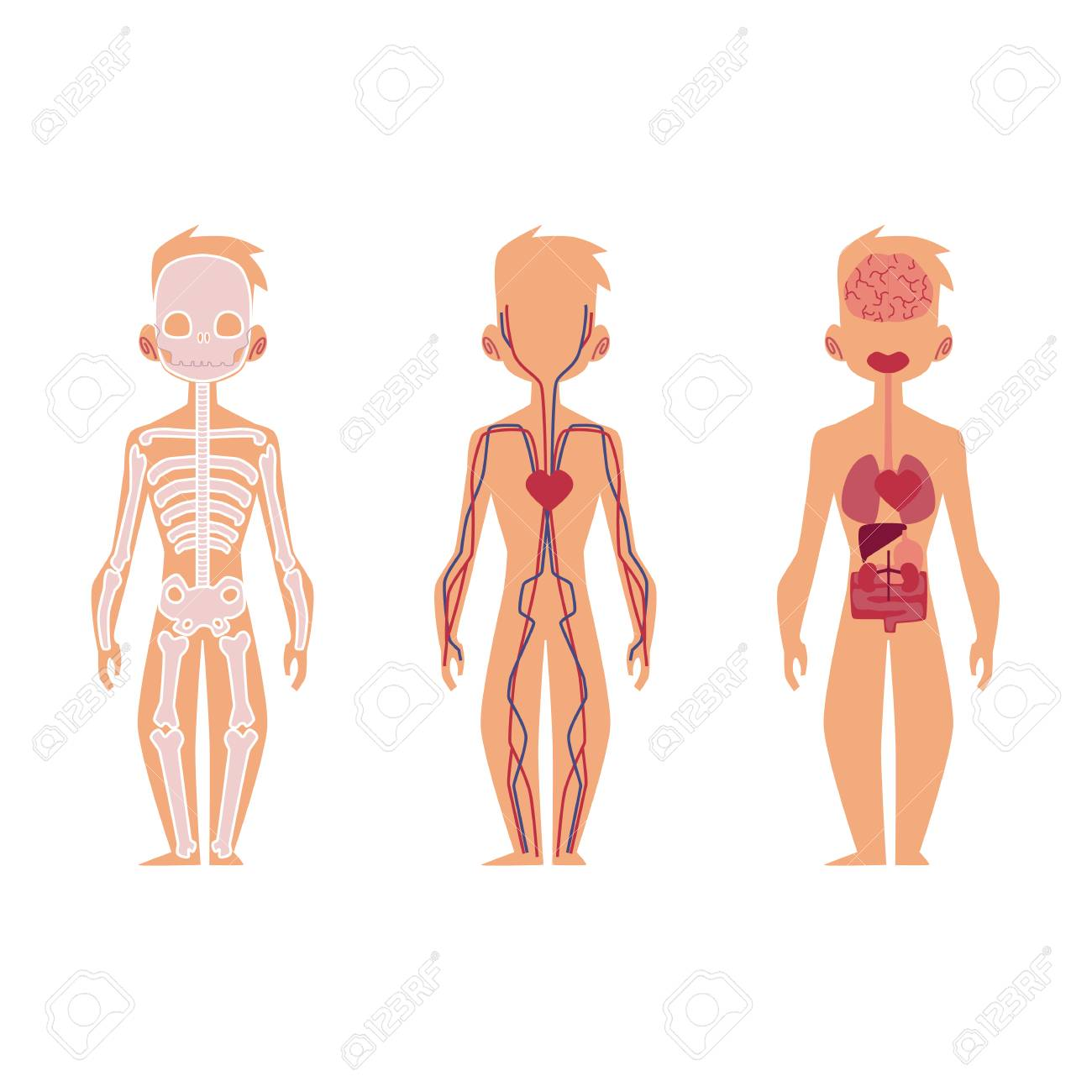 Vector Flat Structure Of The Human Body Anatomy Male Internal