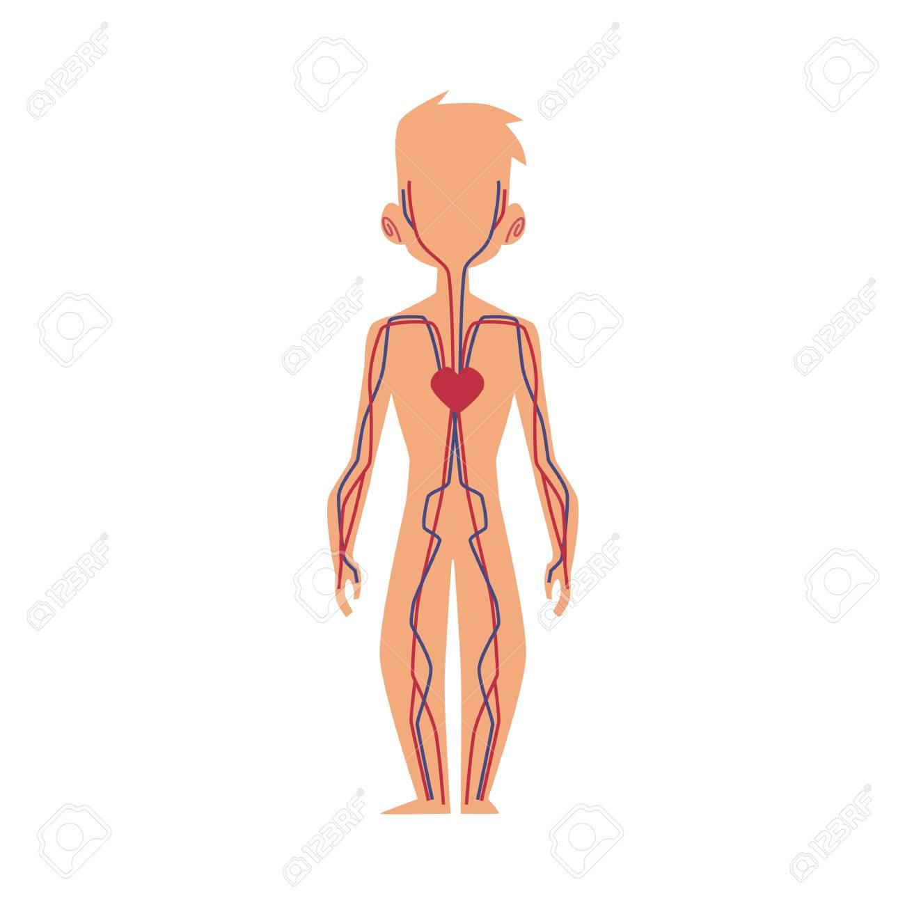 Anatomy Chart Of Human Cardiovascular Blood Circulatory System