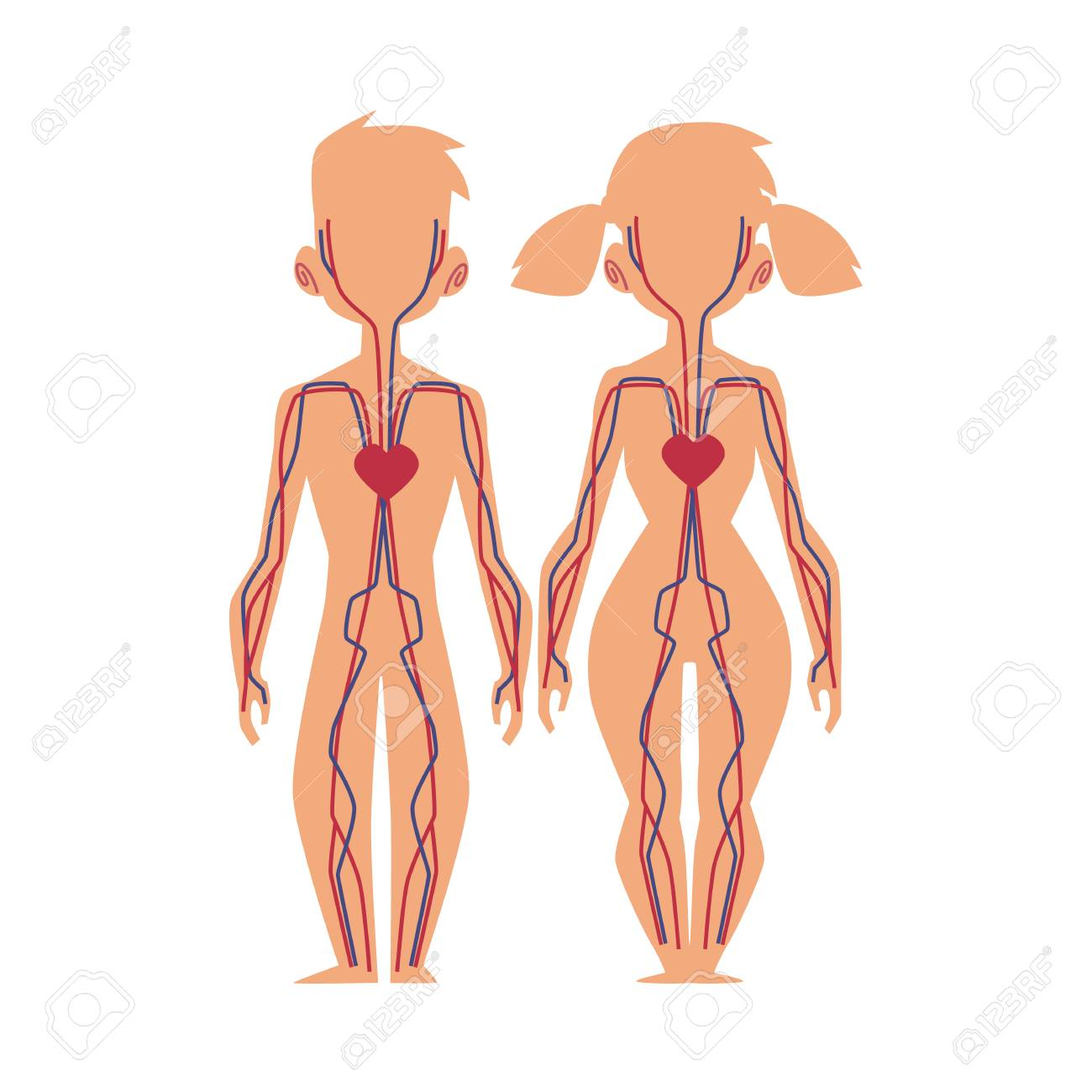 Estrutura Plana Do Vetor Do Corpo Humano Anatomia Masculino Circulante Circulatório Interno Feminino Sistema Cardiovascular Ilustração Isolada