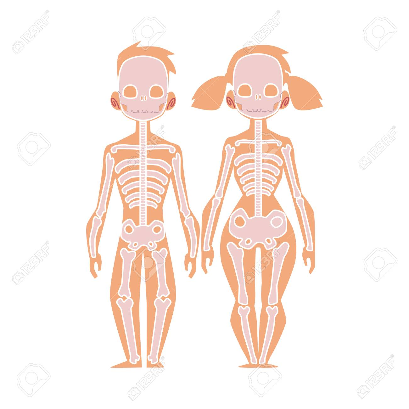 Vector Flat Structure Of The Human Body Anatomy Female Male