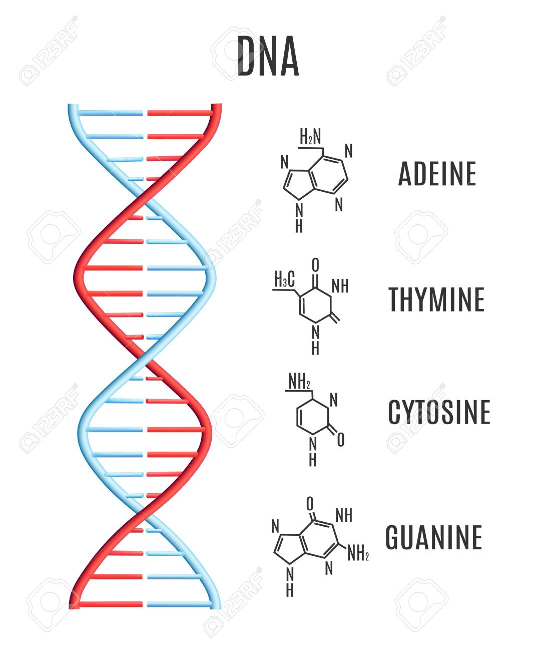 Vector Dna Molecule With Chromosomes And Subunits Adeine Thymine Royalty Free Cliparts Vectors And Stock Illustration Image 125061516