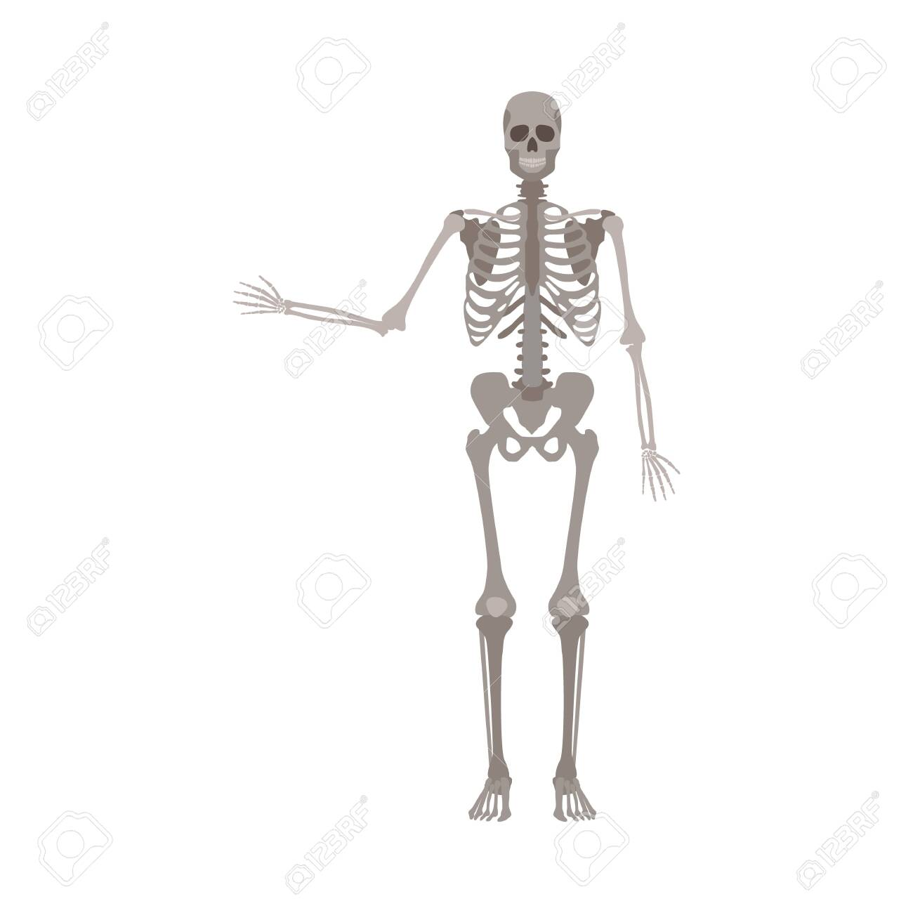 Skeleton of human body anatomically detailed with one hand's bones up vector illustration isolated on white background. Medical, biological or halloween design element. - 128171467
