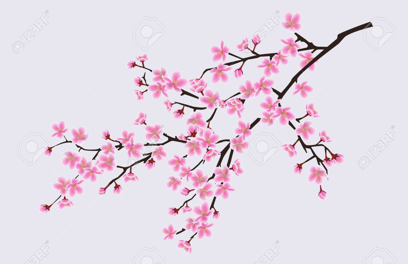 Branch of blooming sakura with flowers, cherry blossom, floral spring concept. Japanese and asian sakura tree flowers. Realistic vector illustration of sakura. - 128947749