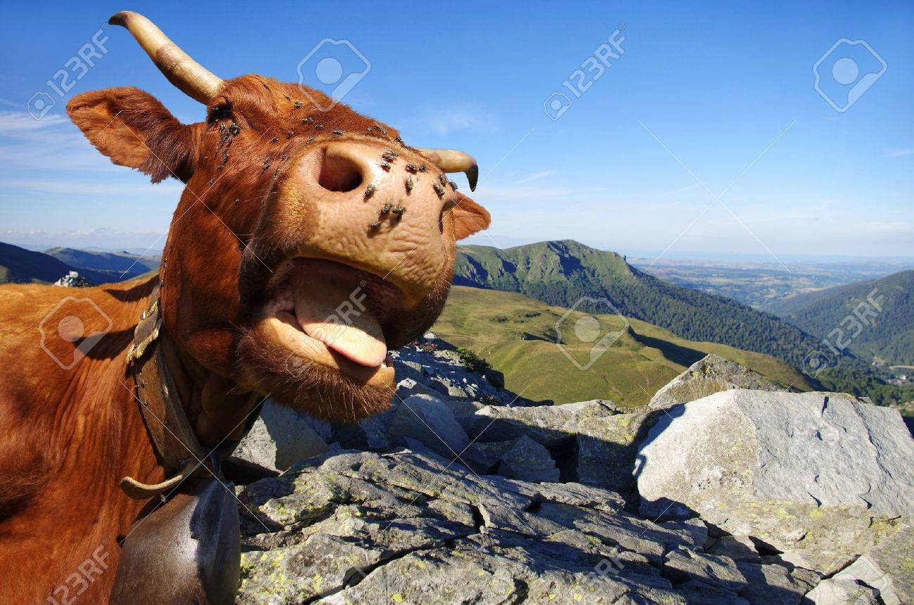 funny cow sticking out tongue with mountains in background stock