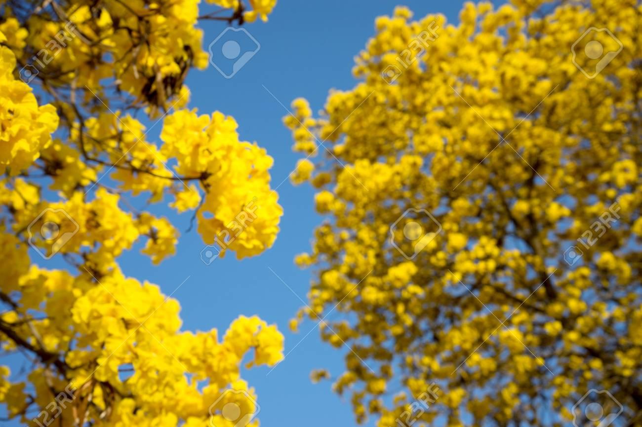 Flou Arbre Fleur Jaune Avec Vue Du Ciel Bleu Banque D Images Et