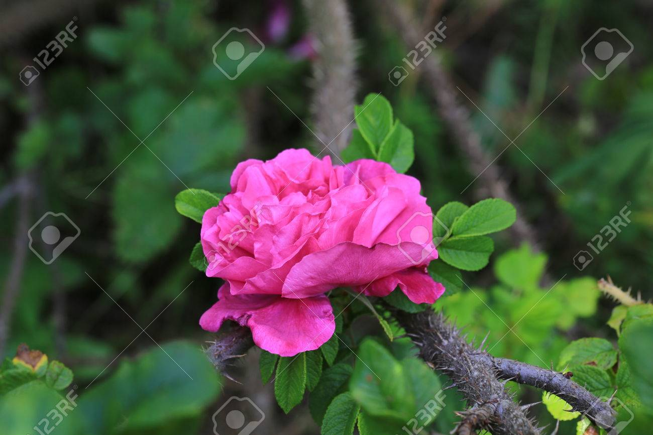 Rose wild rose in the garden of a thorn bush and spikes summer stock rose wild rose in the garden of a thorn bush and spikes summer stock photo mightylinksfo