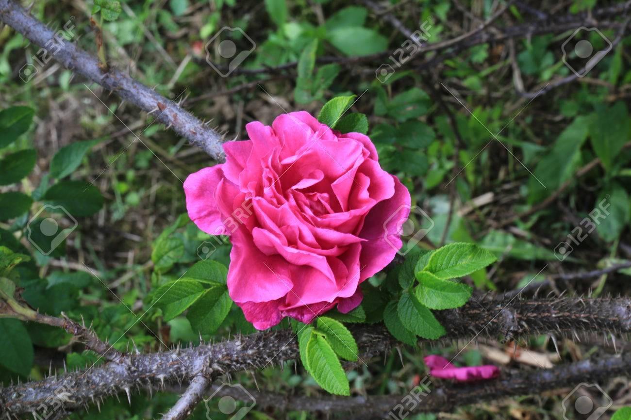 Rose wild rose in the garden of a thorn bush and spikes summer stock rose wild rose in the garden of a thorn bush and spikes summer stock photo mightylinksfo