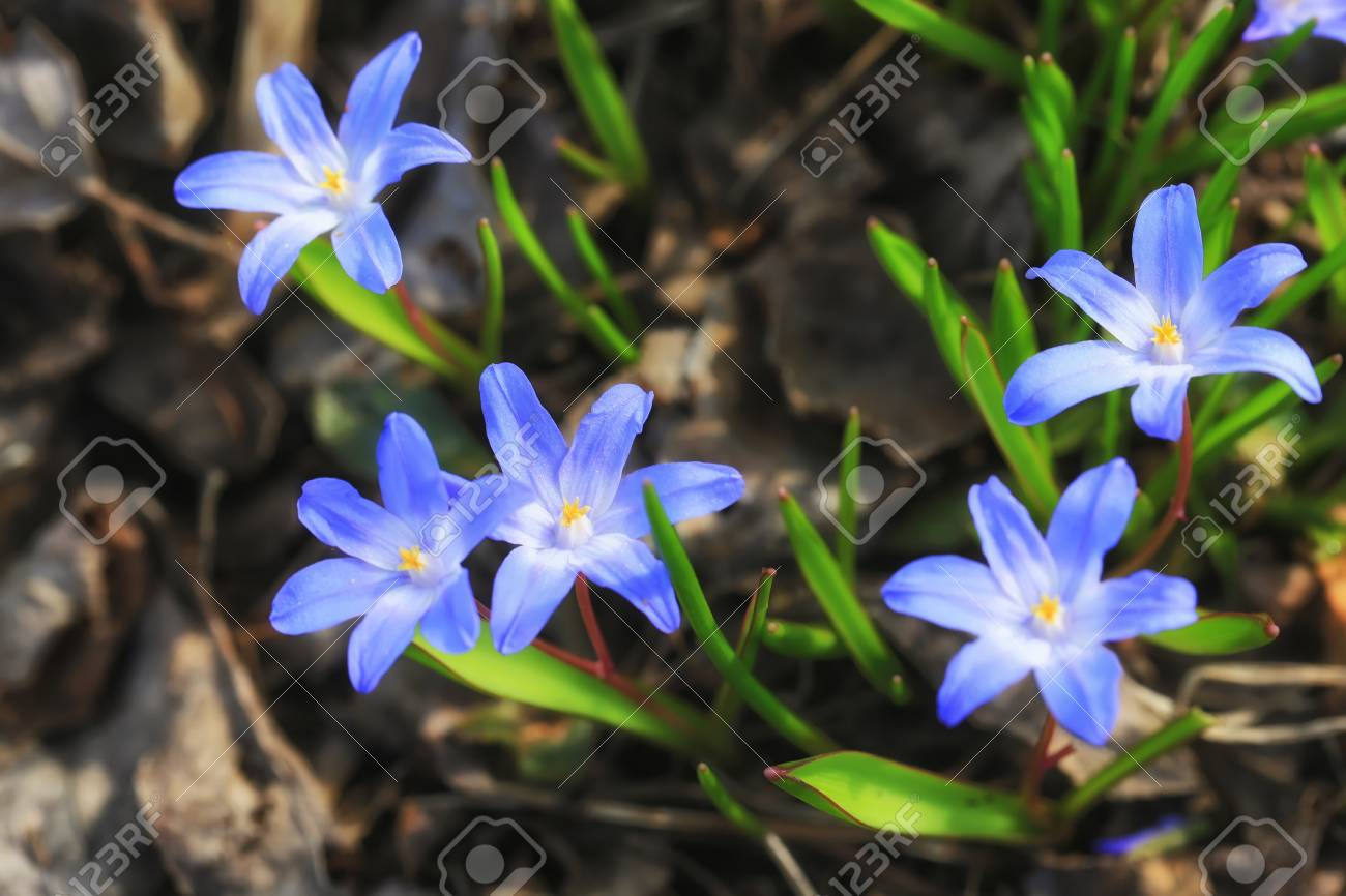 First Early Spring Flowers In The Garden Stock Photo Picture And