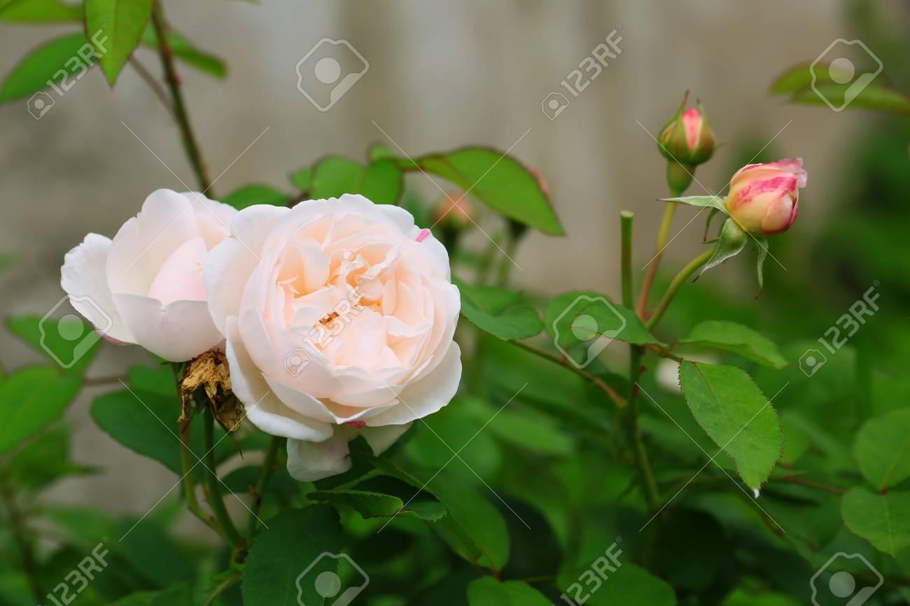 Delicate Tea Rose In The Garden Gentle Pink Shallow Depth Of.. Stock ...
