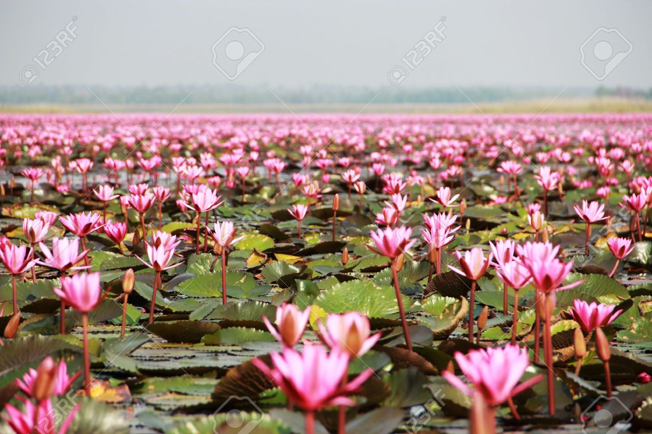 Lotus Flower Blossom Swampudonthanithailand Stock Photo Picture
