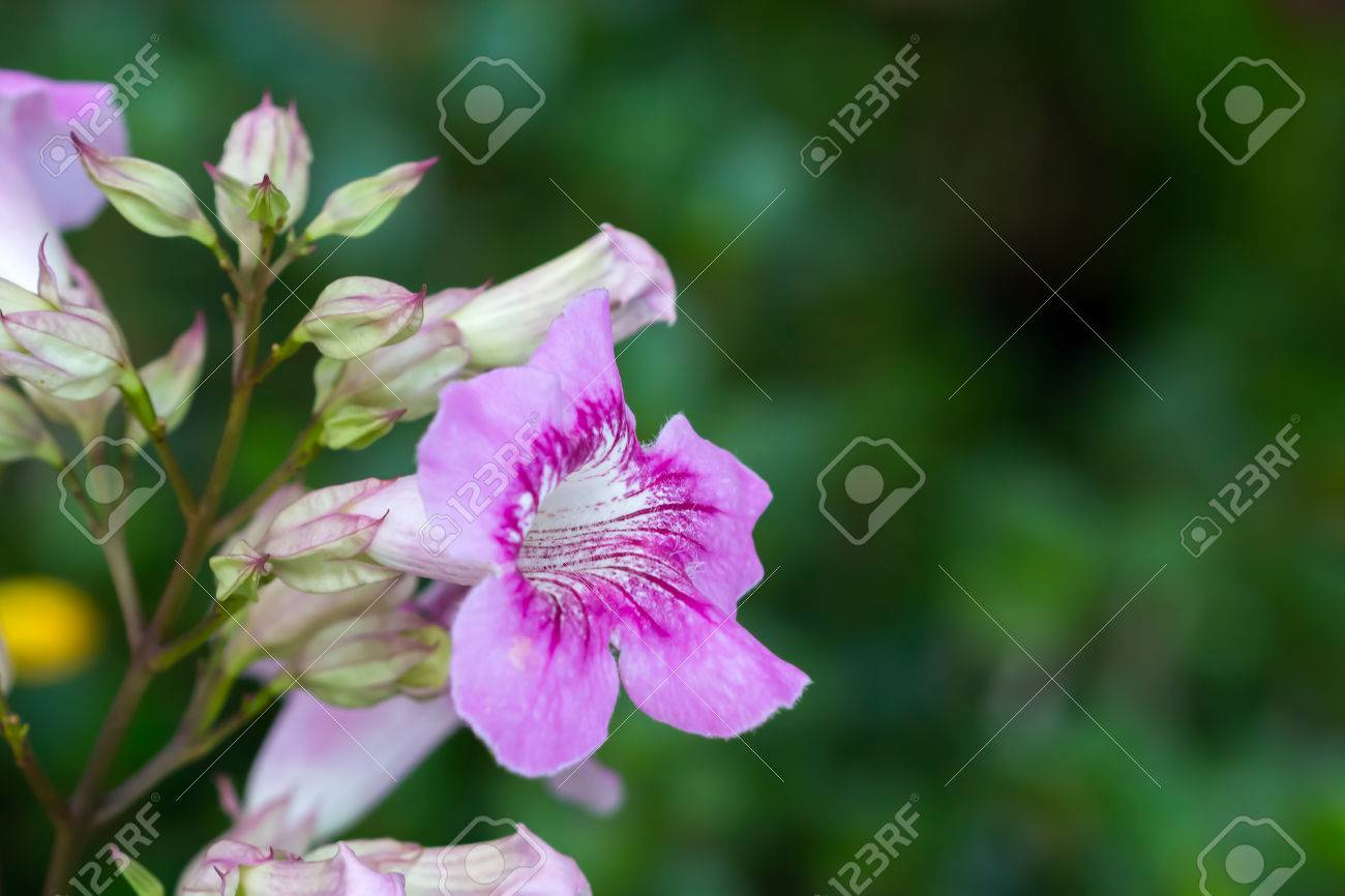 Colorful flower zimbabwe creeper pink trumpet vine stock photo colorful flower zimbabwe creeper pink trumpet vine stock photo 45585137 mightylinksfo