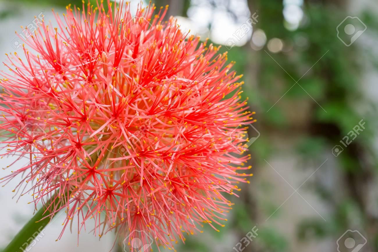 Fleur Rouge Sphere Boule De Feu Lys Dans La Cour Banque D Images