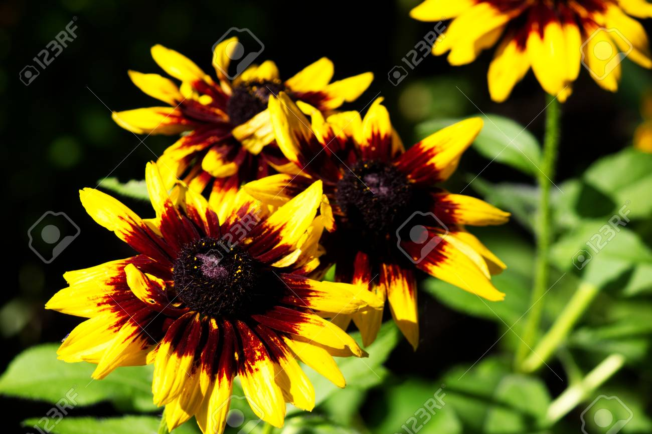 Echinacea with yellow petals and red center stock photo picture and echinacea with yellow petals and red center stock photo 85111947 mightylinksfo