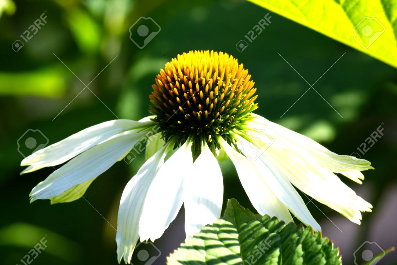 White Echinacea Flower Also Called Cone Flower Stock Photo
