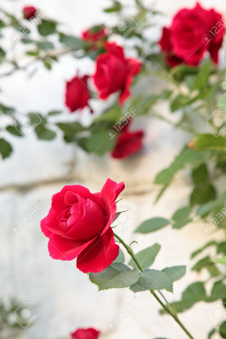 Beautiful flower red rose nature stock photo picture and royalty beautiful flower red rose nature stock photo 13106137 izmirmasajfo