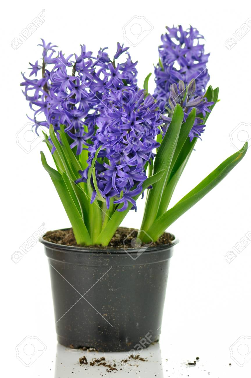 blue hyacinth flowers on a white background stock photo