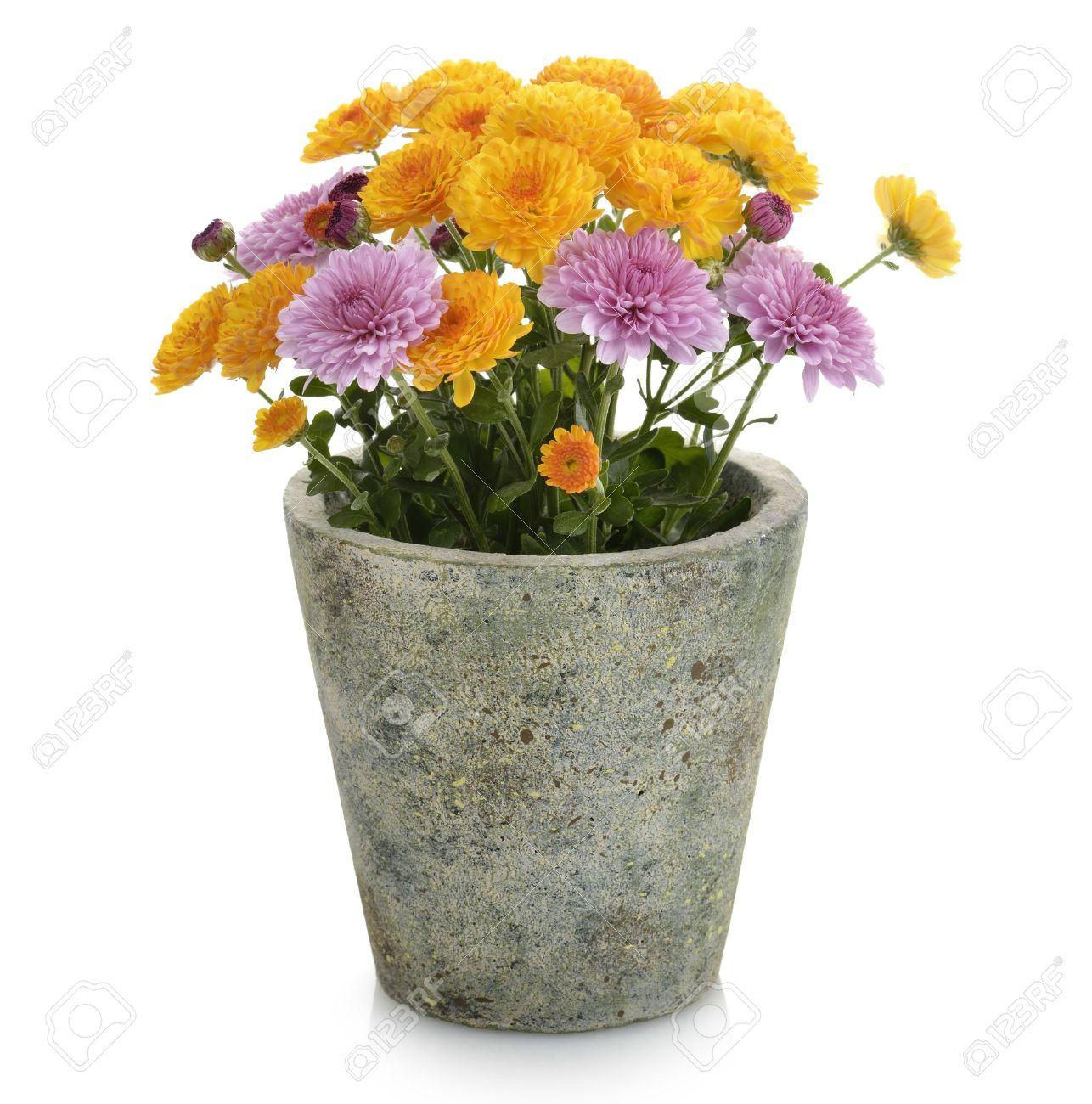 226 & Mums Flowers In A Flower Pot