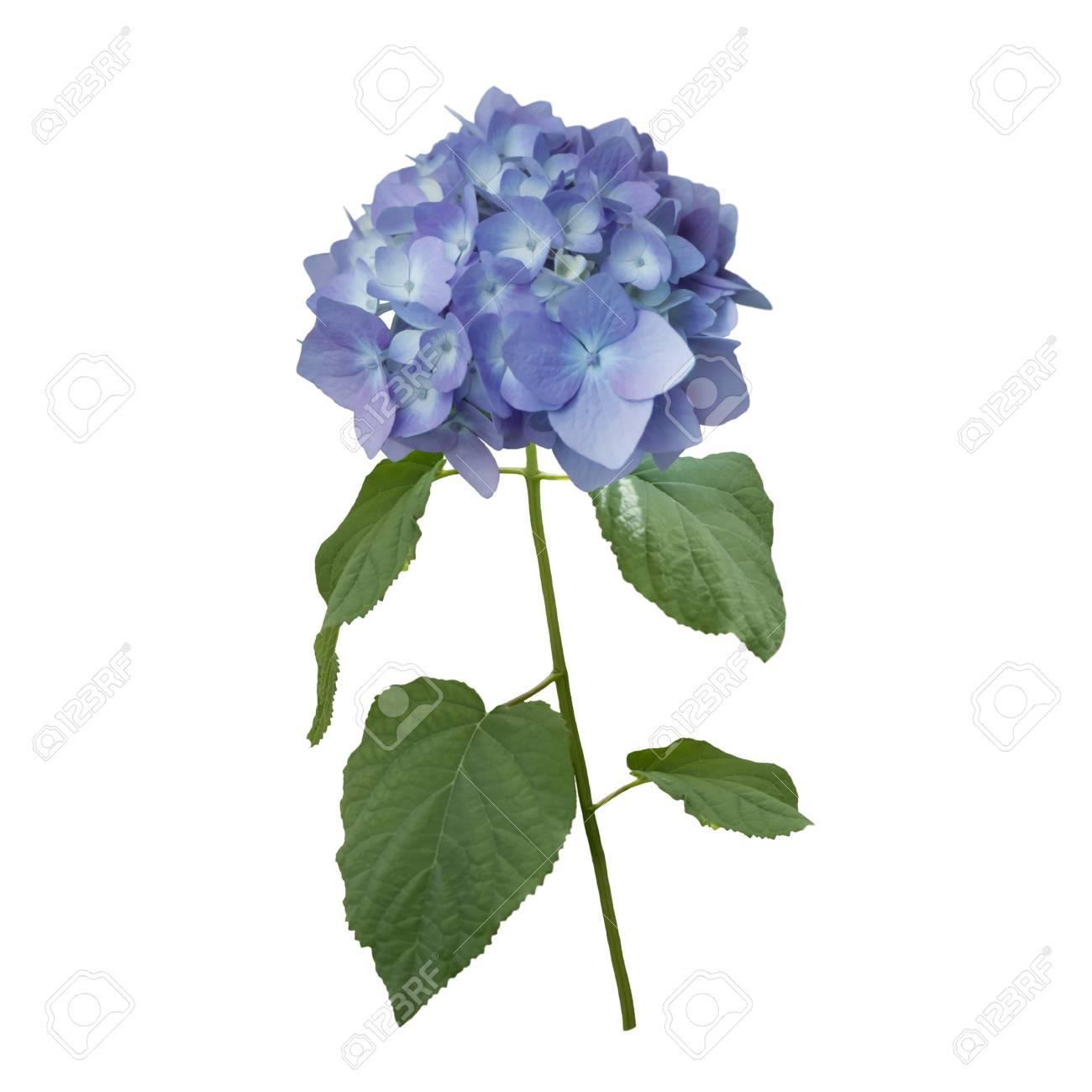 Blaue Hortensie Blumen Isoliert Auf Weissem Hintergrund Lizenzfreie