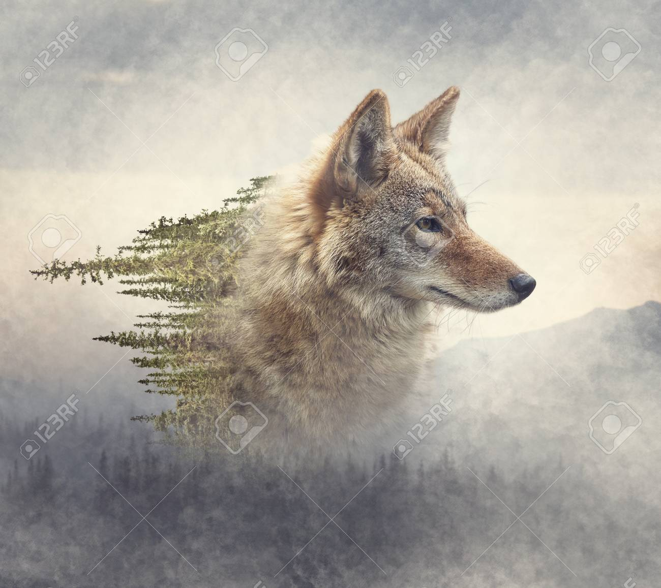 Double exposure of coyote portrait and pine forest on the mountain - 110285230