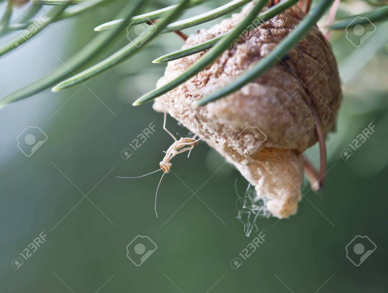 Newly Hatched Baby Praying Mantis On Its Nest Stock Photo Picture