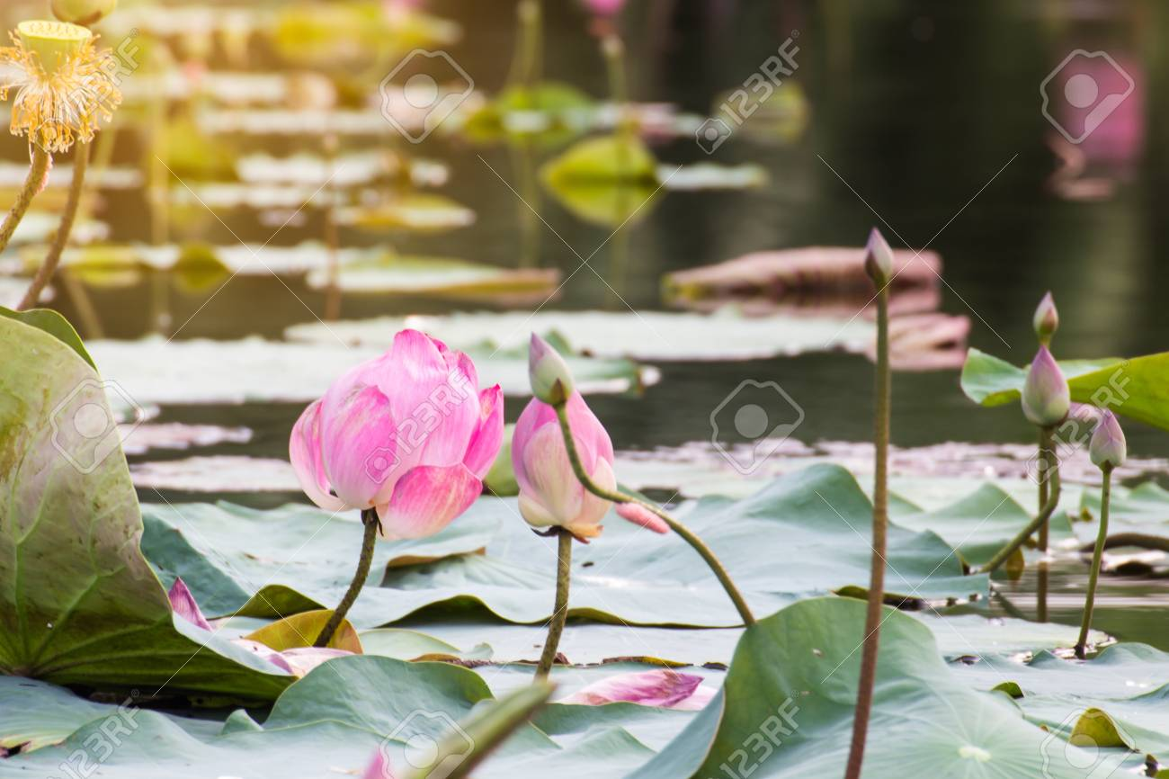 Beautiful Blooming Of Pink Lotus In Poollily Water Blossomflower