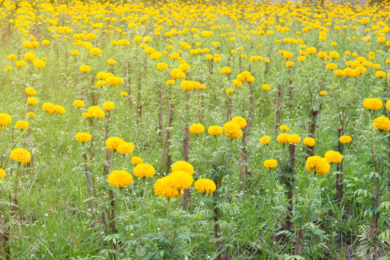 Marigold Flower Field Spring Season Yellow Flowers Yellow Flower