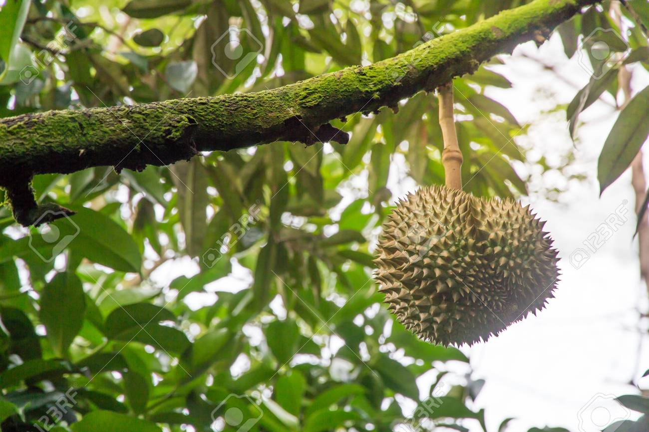 Durian Fruit Tree Images