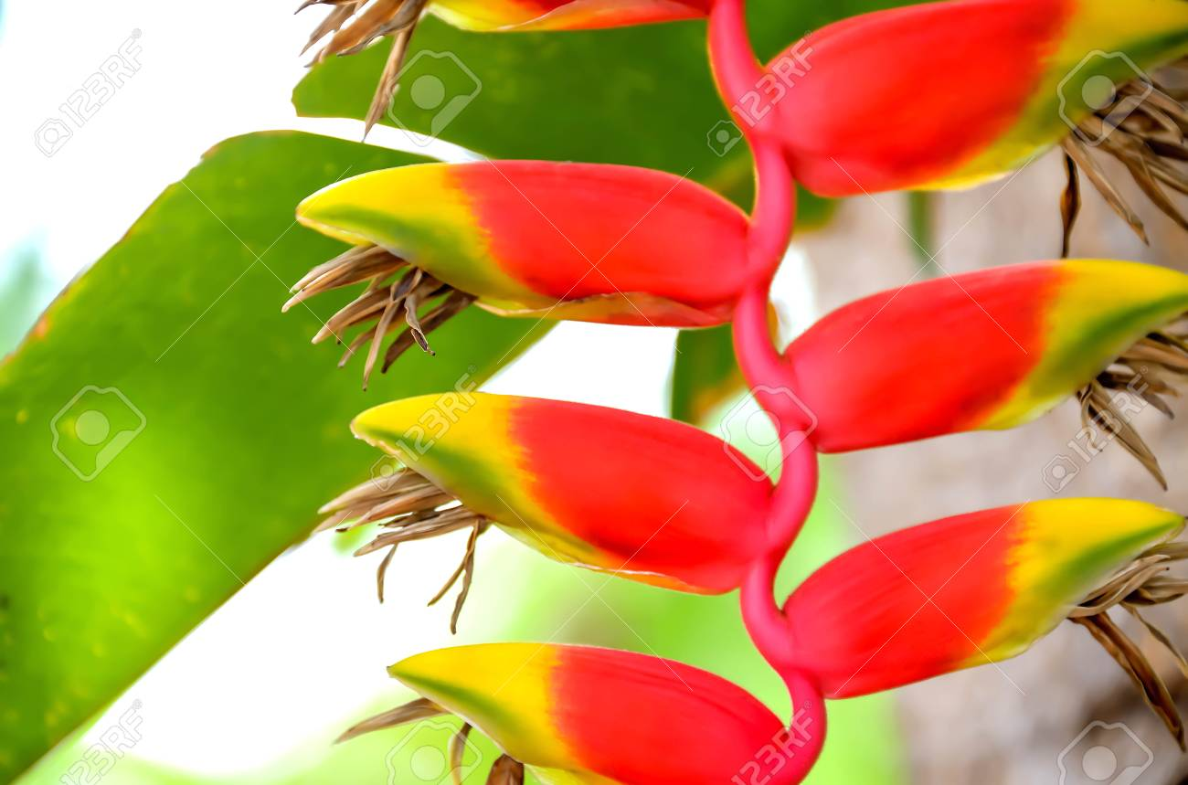 Bird Of Paradise Flower With Multicolored Flowers That Look Like ...
