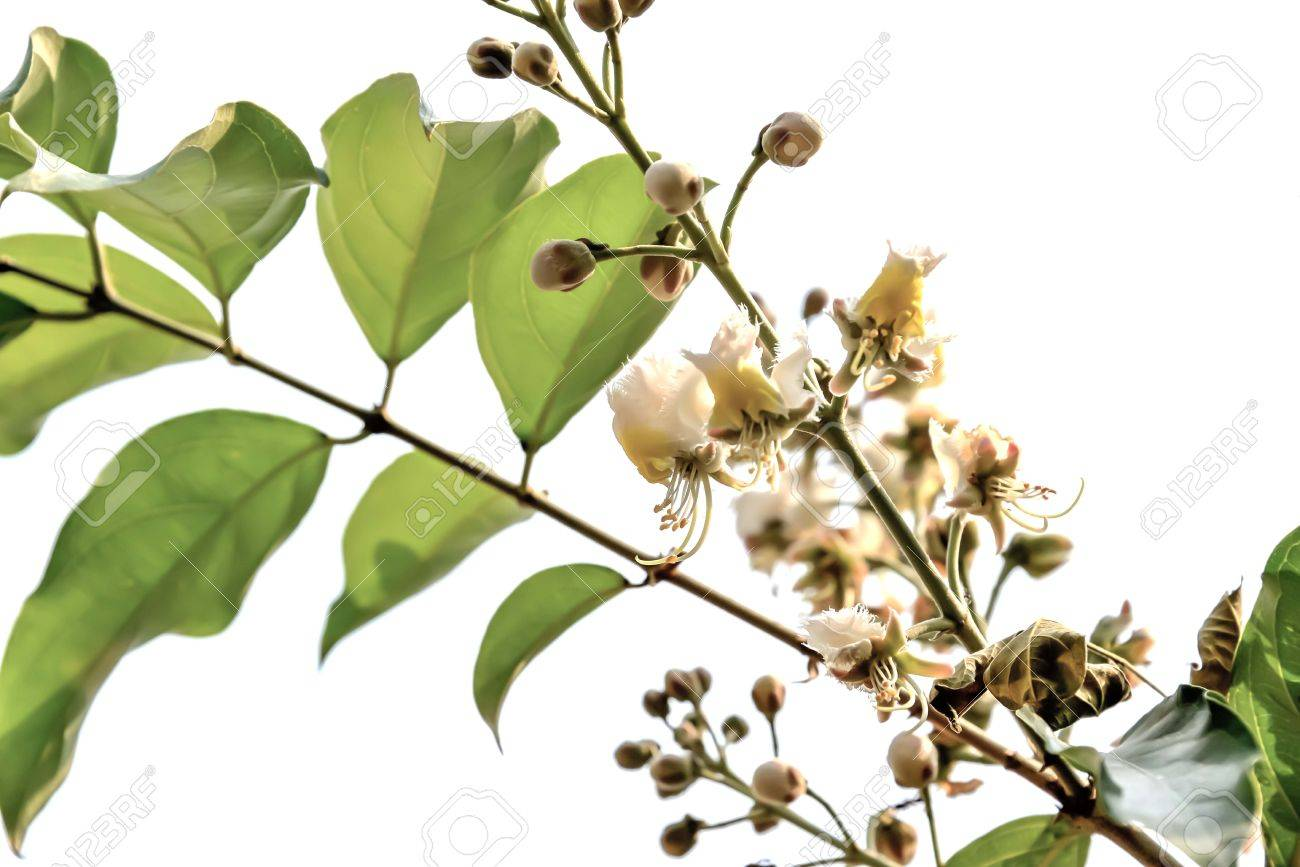 White Flowering Trees That Have Beautiful Flowers Of Different