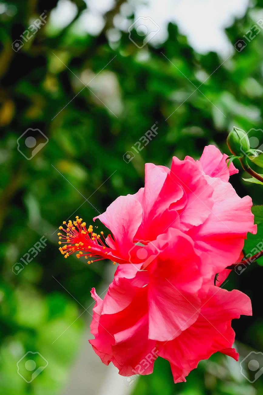 Double Red Hibiscus Flower Design With Natural Beauty Stock Photo