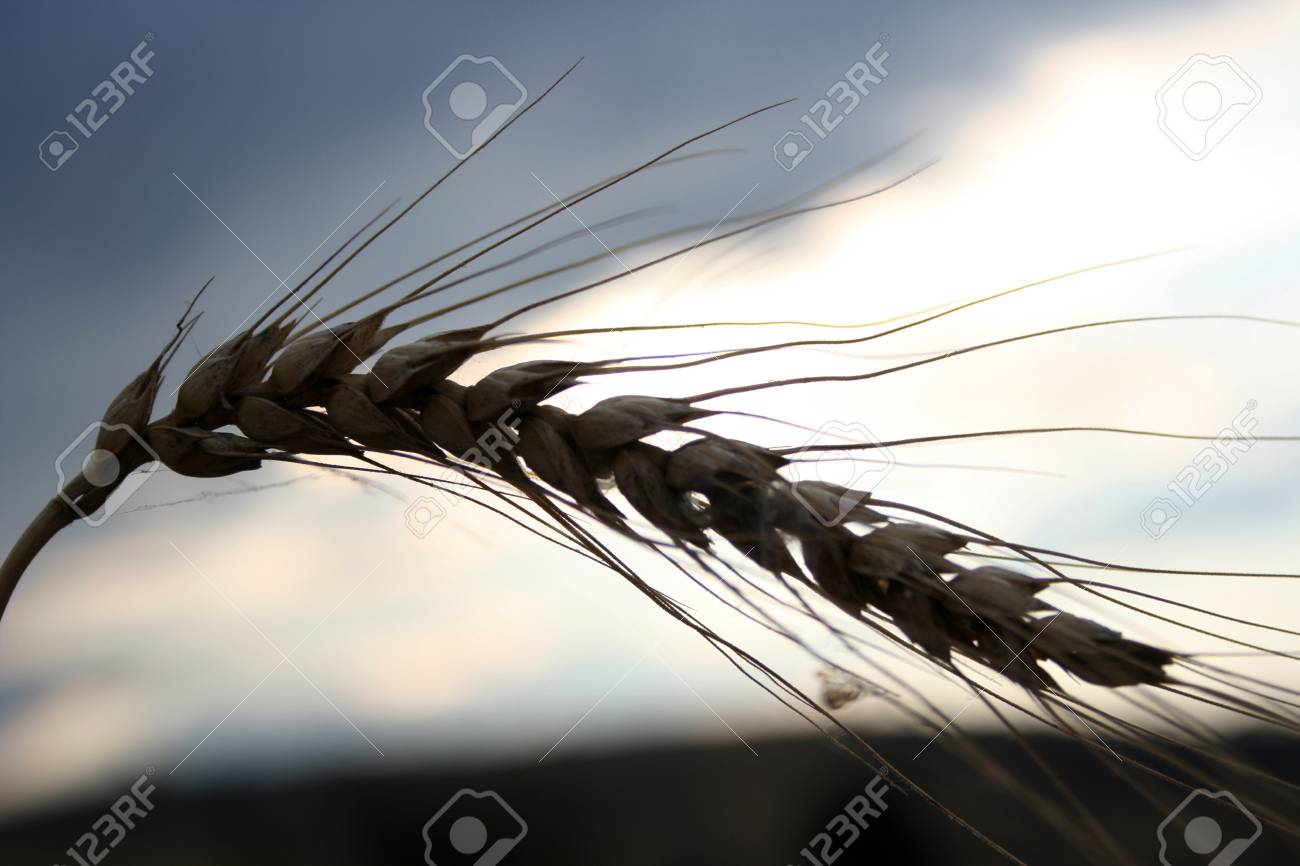 wheat Stock Photo - 12039618