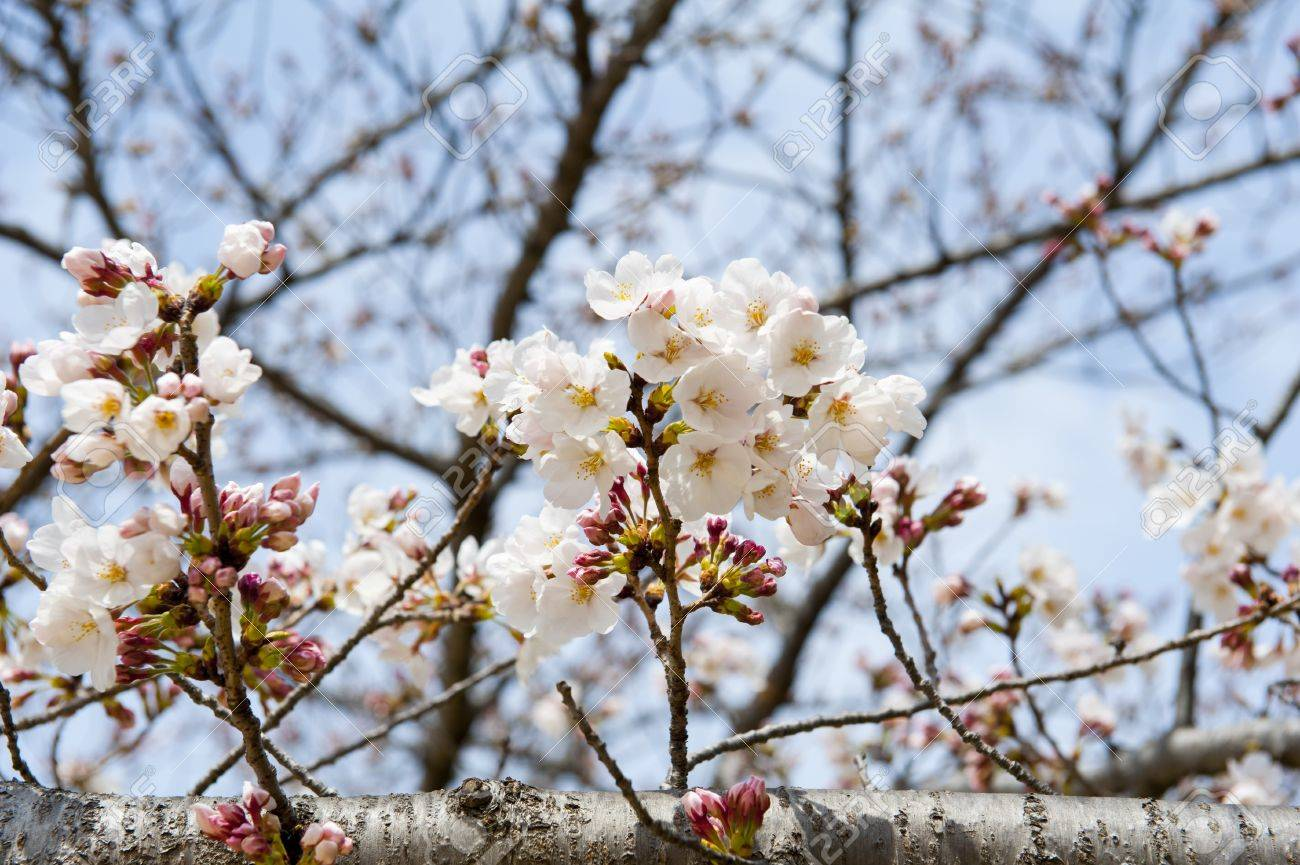 Blooming Tree Branch With Little White Flowers Stock Photo Picture