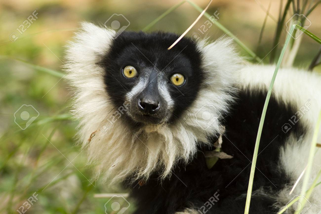 Ubon Ratchatani Zoo Imported These Lemurs From Madacassar With