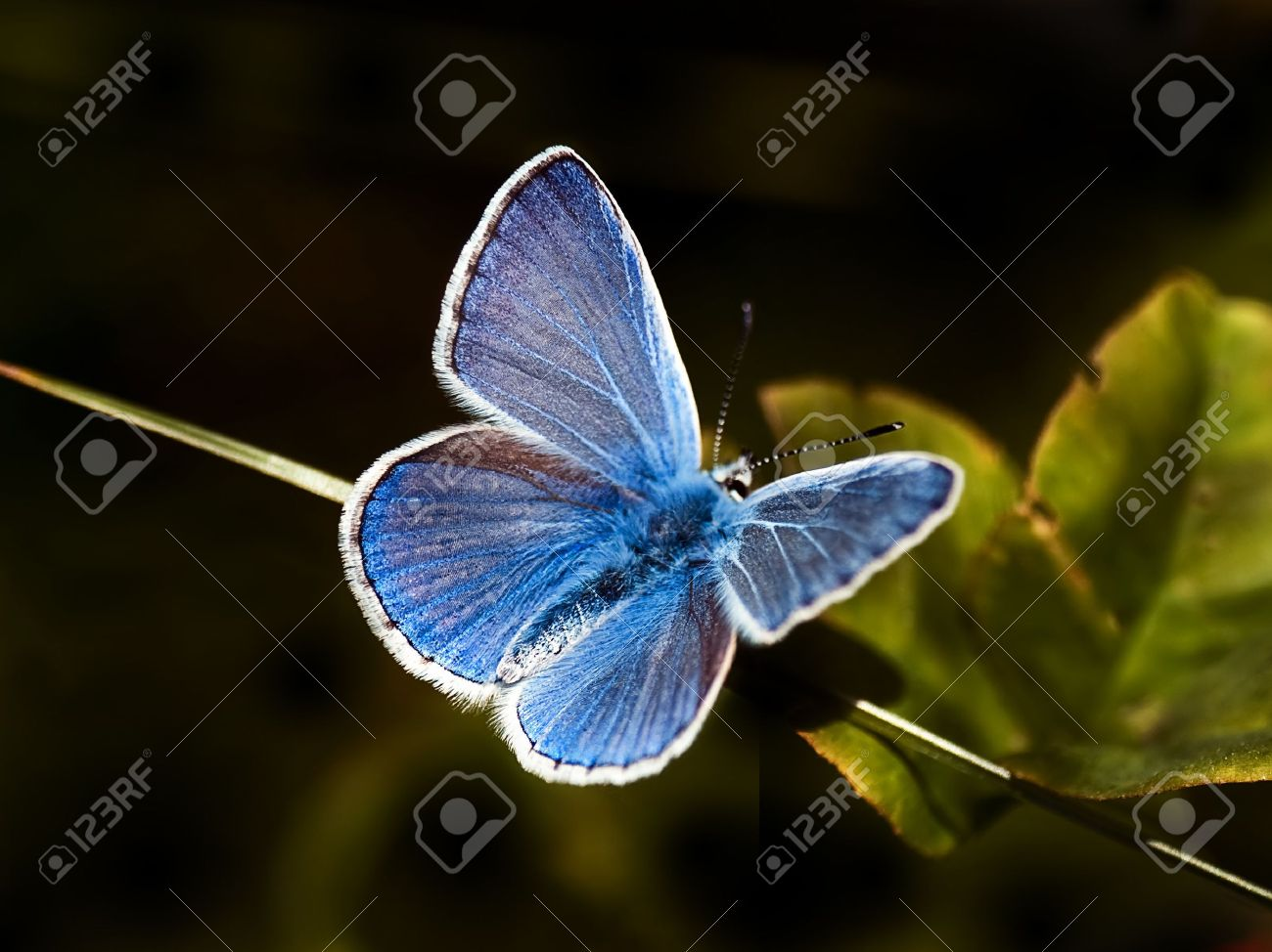 common blue butterfly (Polyommatus icarus) on black Stock Photo - 1358550