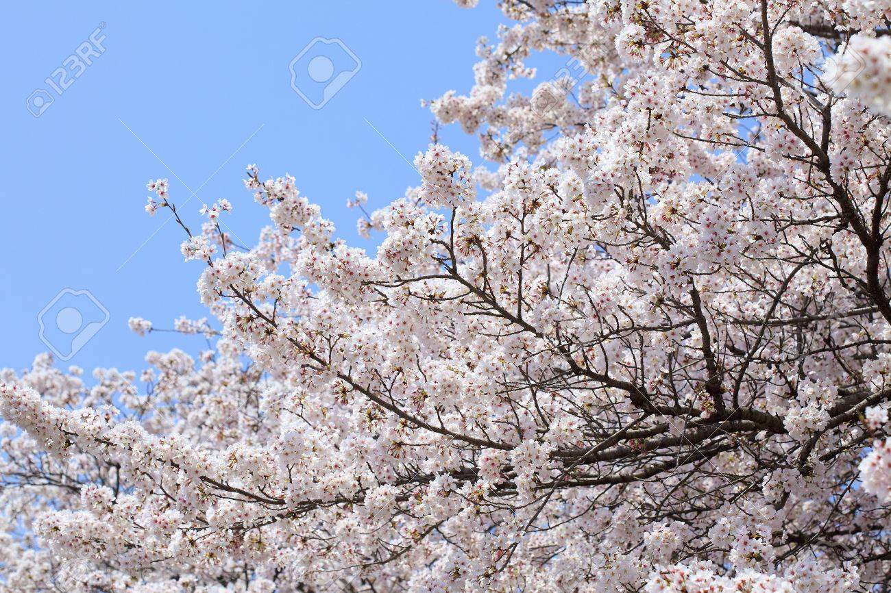 Pink abloom japanese cherry (sakura) blossom in sunny spring day with beautiful bokeh Stock Photo - 10367491