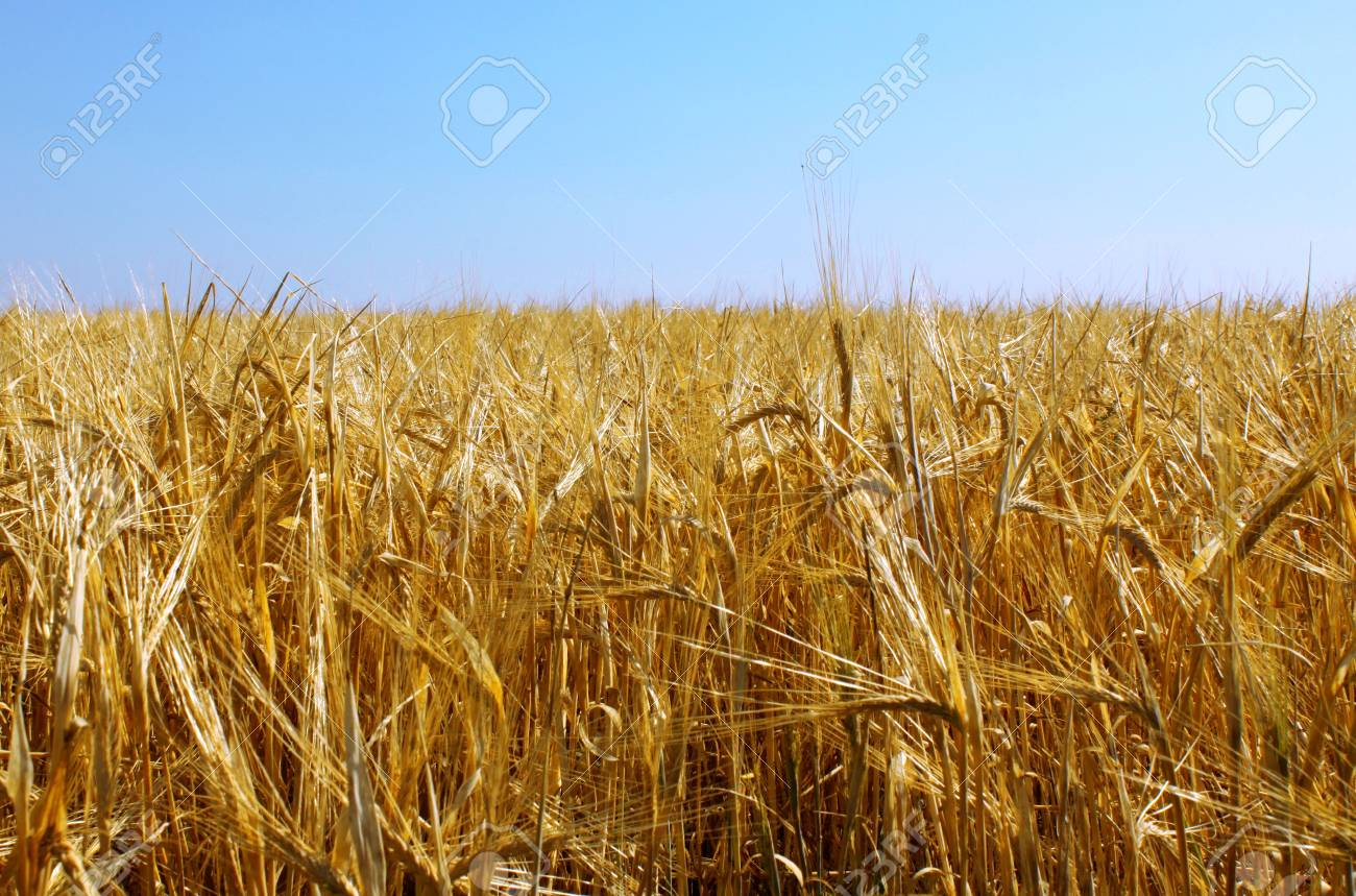 Wheaten field and blue sky Stock Photo - 7527349