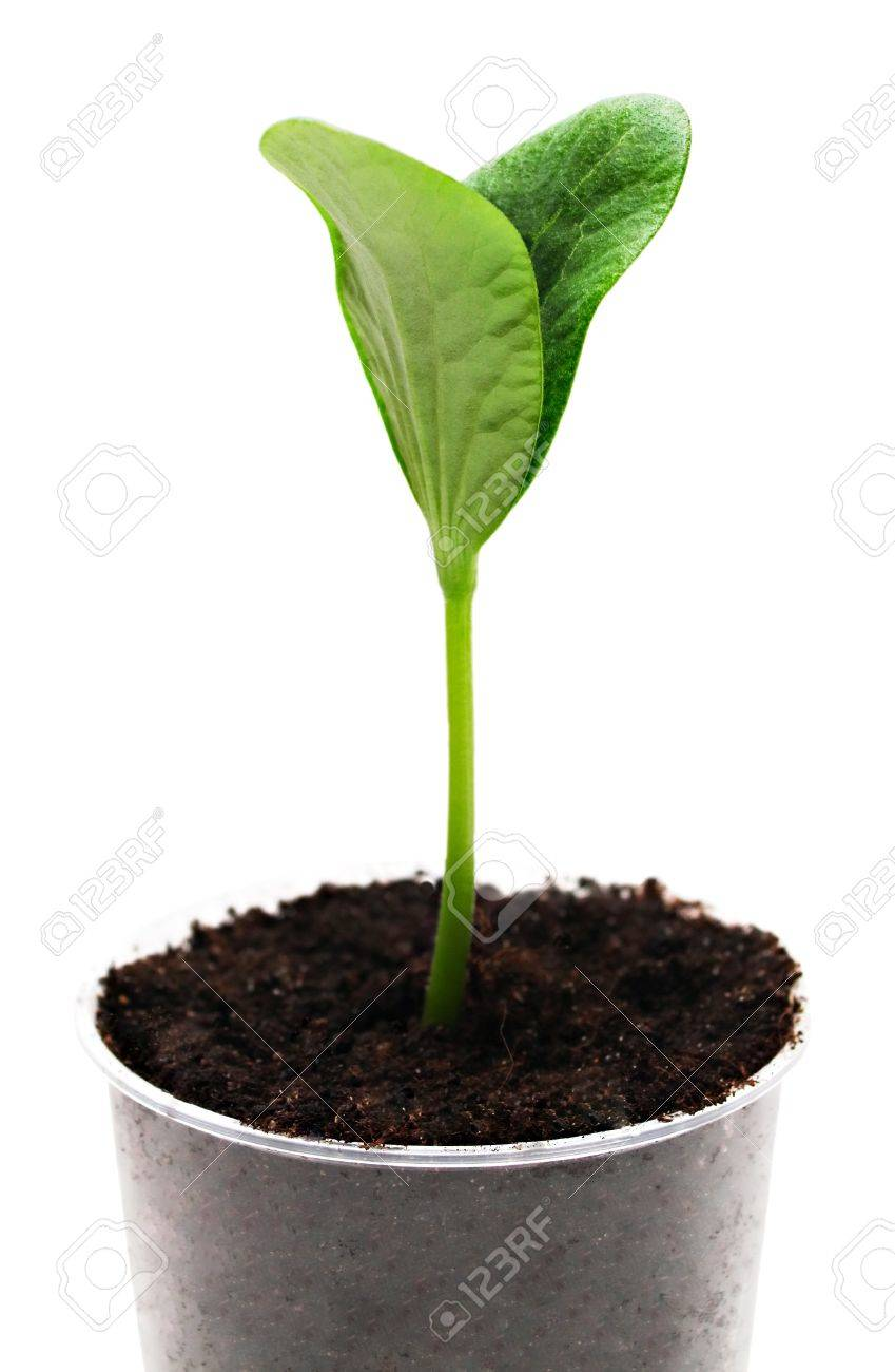 Green pumpkin sprout in the pot isolated on white Stock Photo - 7402415