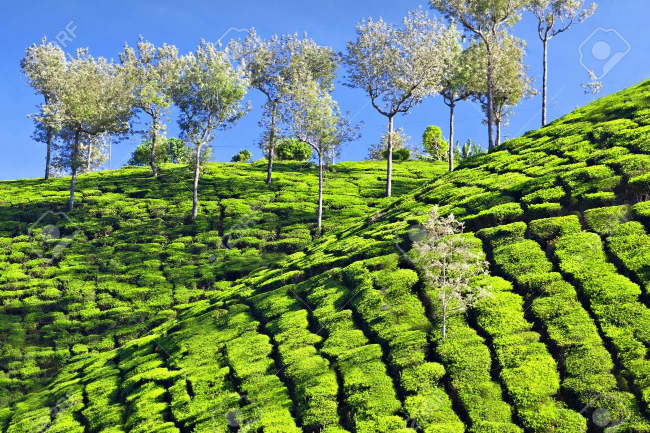 Tea plantation in Munnar, India Stock Photo - 22100868