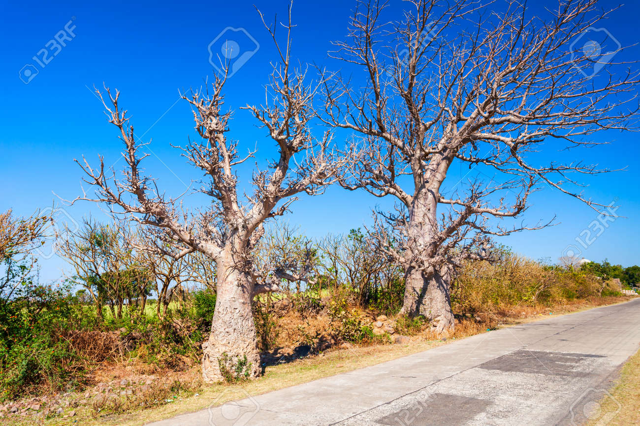 Baobab trees or Adansonia without foliage in Mandu ancient city in Madhya Pradesh state of India - 159442732